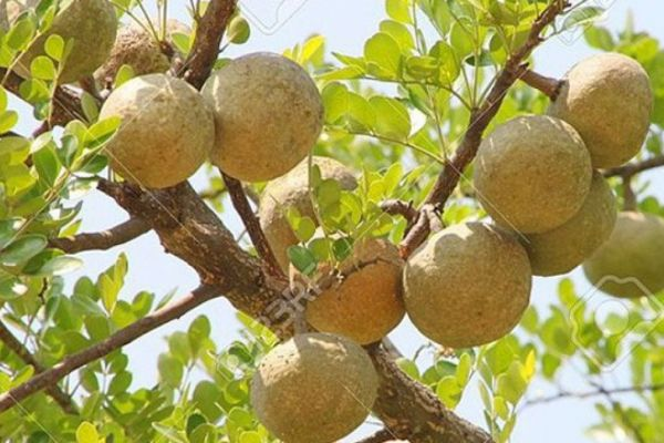 In the West, enjoy the strange and familiar fruit – Bael fruit